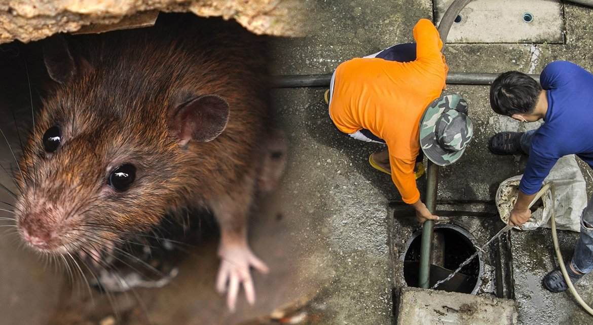 Rats in Drains