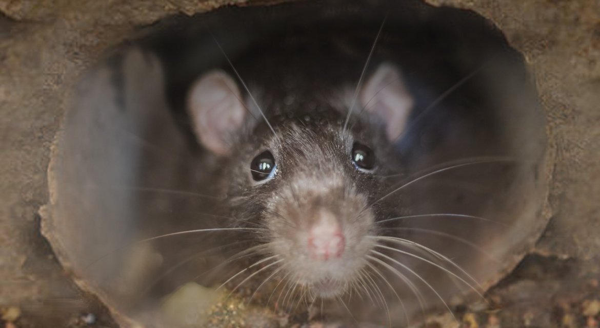 Can Rats Climb Inside Drain Pipes?