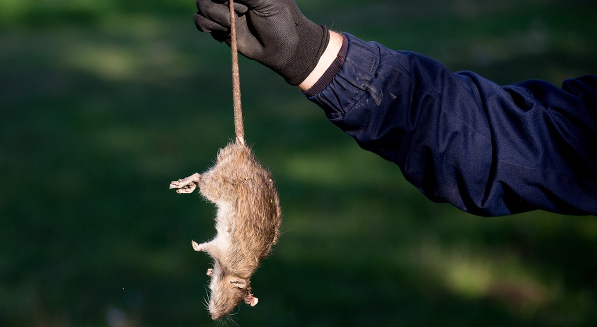 How to Eliminate a Dead Rat's Odour