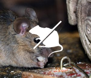 How to stop rats in drains