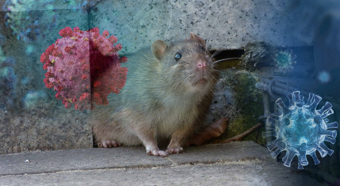 Why Rats Came Out Of Hiding During COVID-19 | Rodent-Proof Your Home